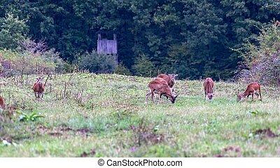 Group of mouflons. The mouflon (Ovis orientalis orientalis...