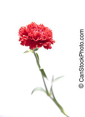carnation - isolated carnation