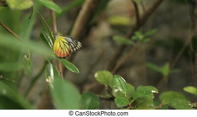 Butterfly on leaf, macro insect life in the tropical rain...
