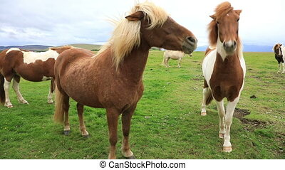 Purebred Icelandic horses grazing in the field, Iceland -...