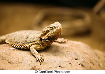 Picture of flat-tailed desert horned lizard resting on rock...