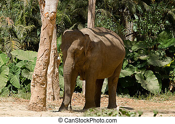 Asian Elephant - photo of an Asian elephant in the shade of...