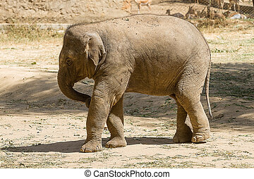 Baby Asian Elephant - Photo of a baby Asian elephant playing...