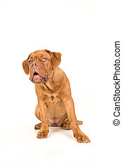Cute bordeaux dogue looking up with its mouth open on a...