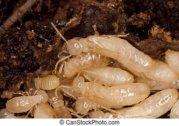 white termites - Close up view of a bunch of termites eating...