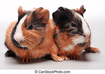 Guinea pig babies on gray - Guinea pig babies 5 days on gray...