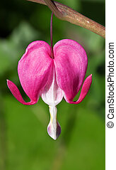 Bleeding Heart - This image shows a macro from a bleeding...