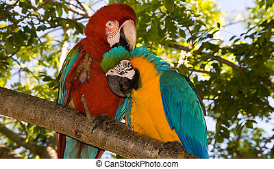 macaw parrot pair - Beautiful macaw parrots perched on...