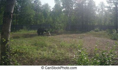 Bear Baiting with Dogs on Sunny Day