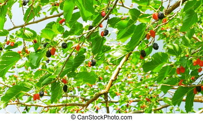 Mulberry Fruit on Tree, Fresh Berry in Nature - Selective...