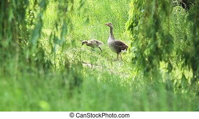 Anser fabalis, Bean Goose, Lower rhine family