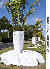Deep Freeze Coming - Sheets covering base of palm trees to...
