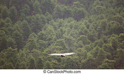 Pine tree forest and vulture flying - Vulture flying against...