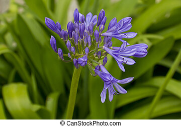 Lovely African Blue Lily - A real gem to see this gorgeous...