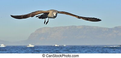 Flying Juvenile Kelp gull (Larus dominicanus), also known as...