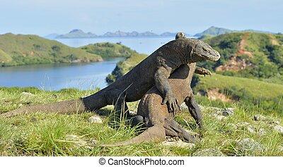 The Fighting Comodo dragon (Varanus komodoensis) for...