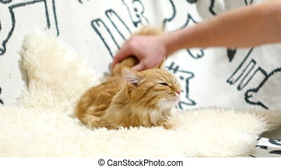 Cute ginger cat lies in bed, man scratches it's neck. Funny...