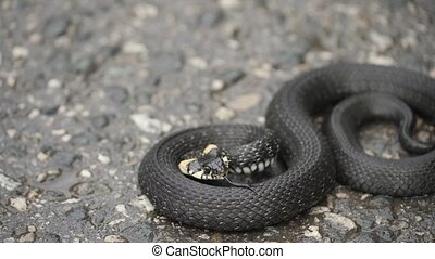 Black natrix. Grass snake curled up on the pavement. waving...