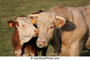 Calf next to its mother