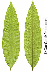 mango Leaves - Green mango leaves isolated on white...