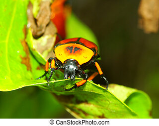 Flower Beetle - Queensland - A brightly colored Flower...