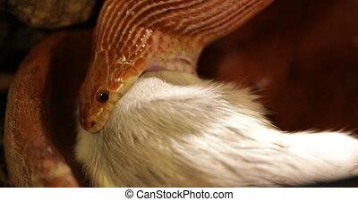 Corn snake swallowing - Orange corn snake Pantherophis...