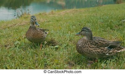 Ducks on the lake bank on the green grass. - Couple of ducks...