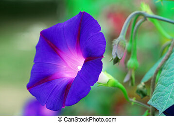 Heavenly Blue Morning Glory Ipomea Flower