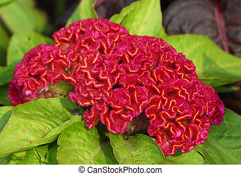 red amaranthus coxcomb flower - an isolated shot of red...