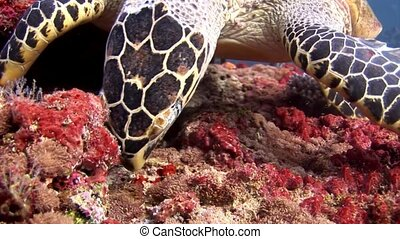 Sea turtle closeup macro video on clean clear seabed...