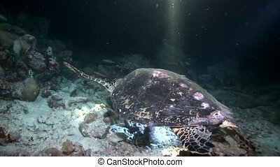 Sea turtle macro video closeup and divers on clean clear...