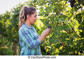 Winegrower woman inspecting grapes in vineyard