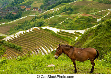 Donkey Rice Terrace Traditional Village Longji