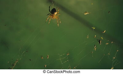 Spider catches victims - A spider on a web catches insects