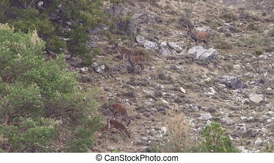 Group of deers in the wild with male walking - Long shot of...