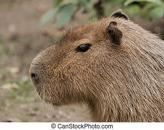 Head of a capybara