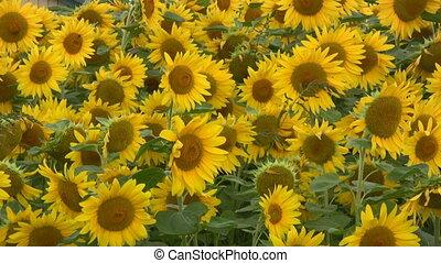 Sunflower Field - Field Of Sunflowers Swaying In A Light...