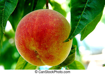 Peach - Ripe fruit of a peach on a branch
