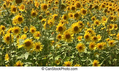 Sunflower Plants - Field Of Sunflowers Swaying In A Light...