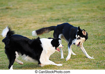 Two dogs playing together - Two dogs playing on the lawn in...