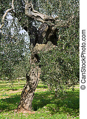 Olive-tree trunk.