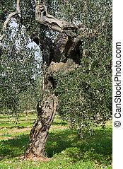 Olive-tree, tronco