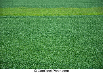 wheat field - green wheat field with a parallel pattern