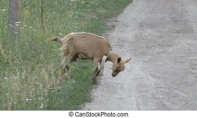 The goat scratches the horns on the ground. A small goat in...