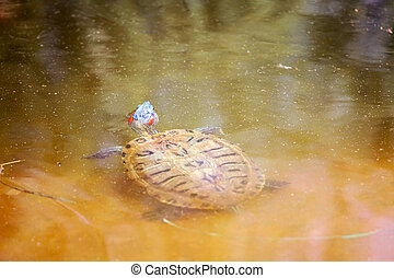 Red Eared Slider Turtle swims in water