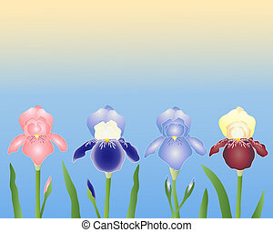irises - an illustration of four different varieties of iris...