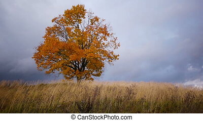 Maple tree showing the colors of autumn before rain - Shot...