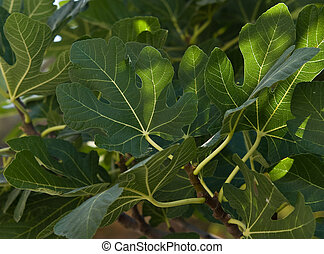 Fig tree - Leaves of a fig tree in natural light.