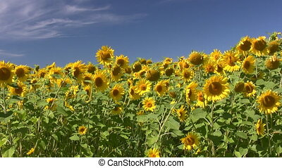 Sunny Sunflowers - Field Of Sunflowers Swaying In A Light...
