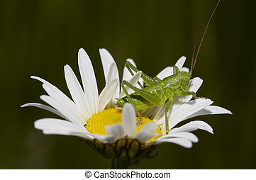 grashopper on the daisy - Detail (close-up) of the...
